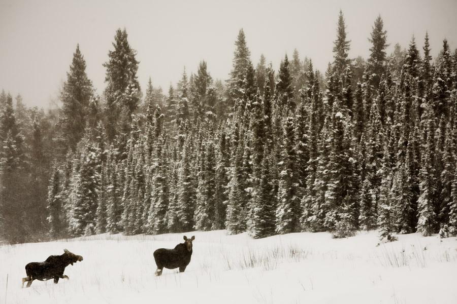 alaska highway moose